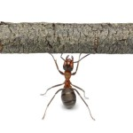 mrówka pracująca